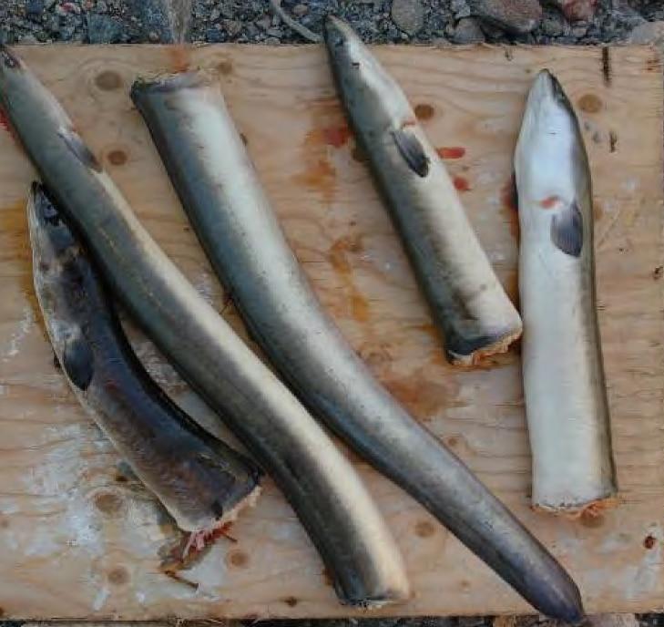 Turbindödad ål