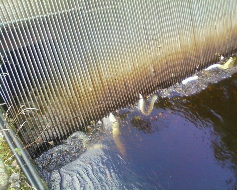 Död ål vid ett kraftverks snedgaller